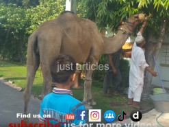camel qurbani in a2 boundry area
