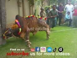 beautiful cow qurbani in b2 gujranwala