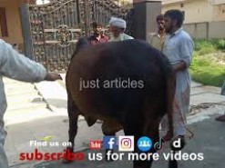 beautiful cow qurbani in a2 gujranwala Pakistan