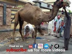 camel qurbani in a2 marriage hall road