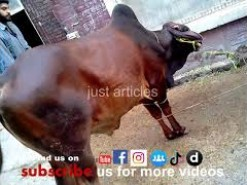 dangrous cow qurbani in bakhtewala 2013