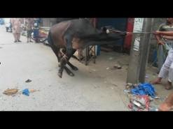 dangrous cow qurbani in bakhtewala 2017