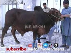 cow qurbani in peoples colony 2006