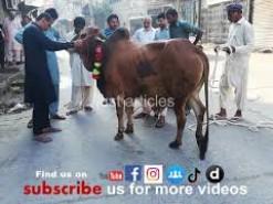 cow qurbani in bakhtewala 2019 gujranwala