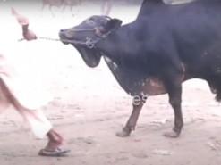 cow qurbani 2007 bus stop gujranwala