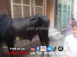 Black Cow Qurbani in Bakhtewala Gujranwala