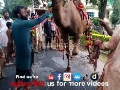 Camel qurbani 2019 in Gujramwala A1