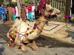 Latest Camel Qurbani in A1 2019 Gujranwala