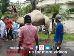 Camel Qurbani Near Marriage Hall Gujranwala