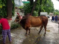 Heavy brown cow ki qurbani 2020 4K video