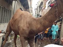 Camel Qurbani in city area 2020