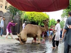 Latest camel Qurbani 1st day 2020