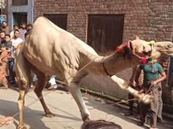 camel qurbani in gujranwala 2020 city