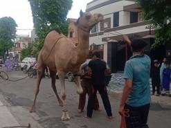 Camel Qurbani By Expert Qasai 2020 Gujranwala