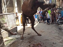 gujranwala camel qurbani 2020 bakhtewala