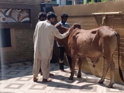 cow qurbani in wapda town 2020