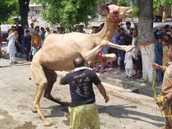 camel qurbani in wapda town A1 2020 gujranwala