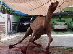 beautiful camel qurbani 2020 wapda town