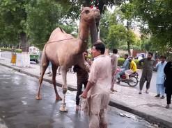 2020 camel qurbani A1 main road