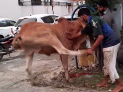 very sharp cow qurbani in wapda town 2020
