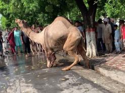 beautiful camel qurbani 2020 wapda town gujranwala