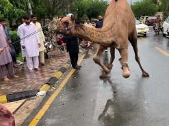 Qasai bohat bura gira khoon ke uper / camel qurbani 2020