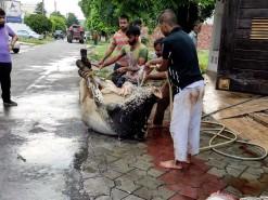 cow qurbani 2020 almarjan road wapda town