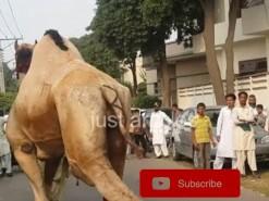 2014 HD رسی کے بغیر اونٹ کی قربانی // camel slaughter Eid