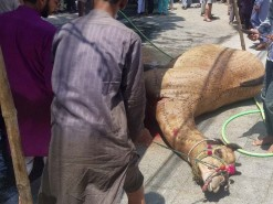 Angry Camel Qurbani 2020 Gujranwala