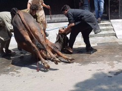 Brown Cow Qurbani in Gujranwala 2020