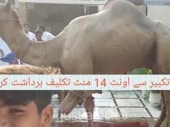 longest survival animal on this Eid || qurbani 2019