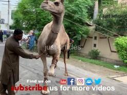 camel qurbani 2019 in gujranwala A2