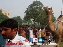 beautiful camel qurbani in gujranwala 2014