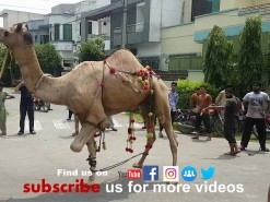 latest camel qurbani near hospital 2019