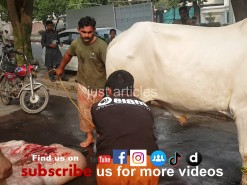 beautiful white cow qurbani 2014
