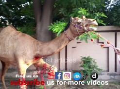 camel qurbani b2 wapdatown 2015