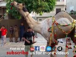heavy camel qurbani in b2 2015