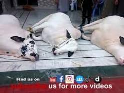 3 cow qurbani at same time