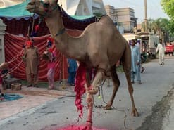 camel qurbani A1 service road 2020