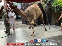 A Beautiful Camel Qurbani 2020