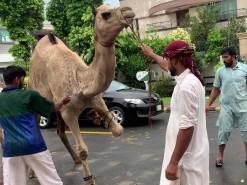 camel qurbani in gujranwala Pakistan 2020