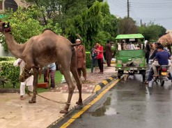 camel qurbani C1 main road wapda town