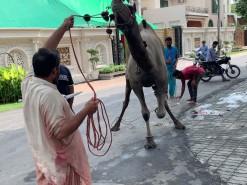 camel qurbani 2020 b1 park gujranwala
