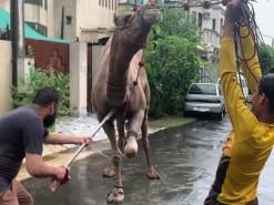 camel qurbani 2020 wapda town