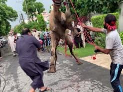camel jumping qurbani 2020