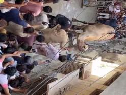 camel kicked during qurbani 2020