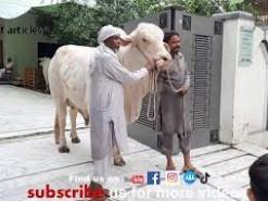 very very big cow qurbani 2021 Part 2