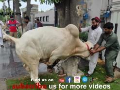 very beautiful white cow qurbani 2021