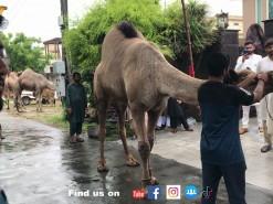 very heavy camel qurbani of 2021 in gujranwala