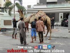 sher dil camel qurbani 2021 wapda town